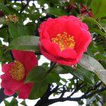 みぞれ混じりの雨と山茶花の花