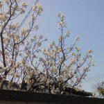 春分の日に咲く梅の花