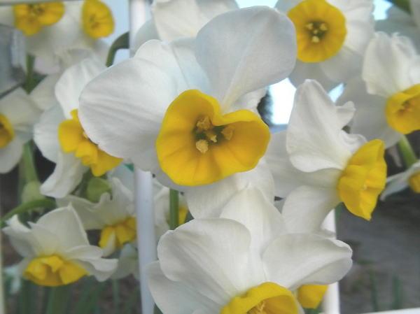 水仙の花のイメージ