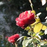 バラの花 サムライ