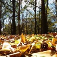 落ち葉の中にドングリ