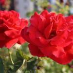 バレンタインと言えばバラの花? イギリスのバレンタイン事情